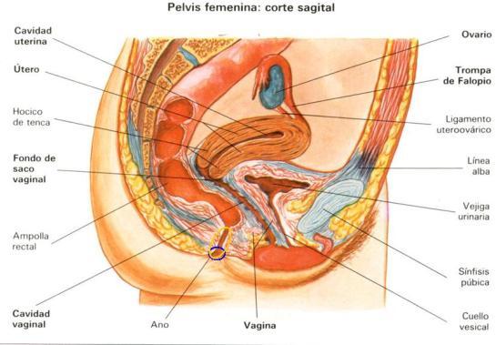 Aparato genital femenino, corte medial, supercondon.com.mx