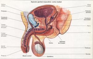 Aparato genital masculino - corte medial, supercondon.com.mx