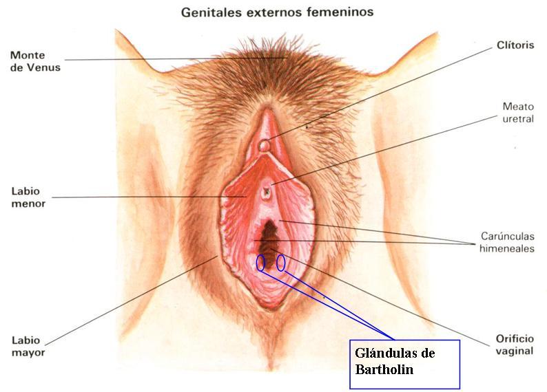 Genitales externos femeninos, vulva, glándulas de Bartholin, producen la lubricación genital a partir de la excitación sexual, supercondon.com.mx